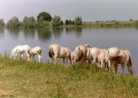 FotosRGES: Horses-drinking-from-lake-[NL-2001]---KIH